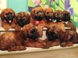 Собаки, щенята Бріар, ціна 15000 Грн., Фото