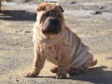 Собаки, щенята Шарпей, ціна 3000 Грн., Фото