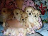 Собаки, щенята Безпорідна, ціна 0.01 Грн., Фото