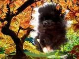 Собаки, щенята Померанський шпіц, ціна 6000 Грн., Фото