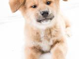 Собаки, щенята Акіта-іну, ціна 6000 Грн., Фото