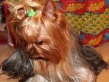 Собаки, щенки Йоркширский терьер, цена 300 Грн., Фото