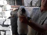 Грызуны Кролики, цена 50 Грн., Фото