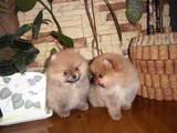 Собаки, щенята Карликовий шпіц, ціна 12000 Грн., Фото