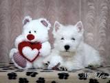 Собаки, щенки Вестхайленд уайт терьер, цена 15000 Грн., Фото