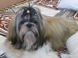 Собаки, щенки Ши-тцу, цена 700 Грн., Фото