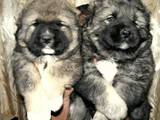 Собаки, щенята Кавказька вівчарка, ціна 1800 Грн., Фото