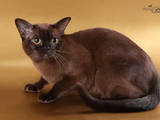 Кошки, котята Бурма, цена 13000 Грн., Фото