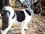 Собаки, щенки Американский акита, цена 13500 Грн., Фото