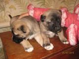 Собаки, щенки Турецкий кангал, цена 2500 Грн., Фото