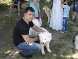Собаки, щенята Самоїдом, ціна 6500 Грн., Фото