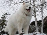 Собаки, щенки Самоед, цена 6500 Грн., Фото