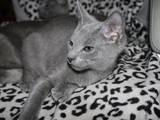 Кошки, котята Русская голубая, цена 3000 Грн., Фото