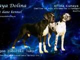 Собаки, щенята Німецький дог, ціна 10000 Грн., Фото