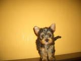 Собаки, щенки Малый шпиц, цена 4500 Грн., Фото