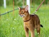 Кішки, кошенята Абіссінська, ціна 10000 Грн., Фото