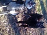Собаки, щенки Восточно-Сибирская лайка, цена 4500 Грн., Фото