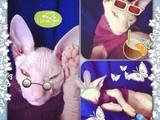 Кішки, кошенята Донський сфінкс, ціна 100 Грн., Фото