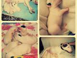 Собаки, щенята Бультер'єр, ціна 8500 Грн., Фото