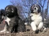 Собаки, щенята Кавказька вівчарка, ціна 5000 Грн., Фото