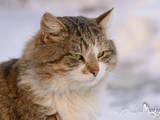 Кошки, котята Сибирская, цена 100 Грн., Фото