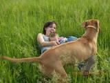 Собаки, щенки Родезийский риджбек, Фото