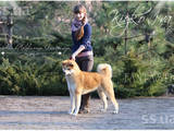 Собаки, щенята Акіта-іну, ціна 10 Грн., Фото