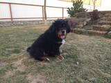 Собаки, щенята Тибетський мастиф, ціна 38000 Грн., Фото