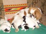 Собаки, щенята Японський хіни, ціна 1400 Грн., Фото