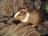 Грызуны Морские свинки, цена 25 Грн., Фото