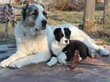 Собаки, щенята Середньоазіатська вівчарка, ціна 6250 Грн., Фото