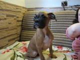 Собаки, щенята Боксер, ціна 2800 Грн., Фото