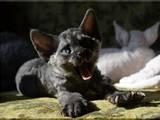 Кошки, котята Девон-рекс, цена 4000 Грн., Фото
