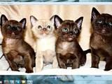 Кошки, котята Бурма, цена 12000 Грн., Фото