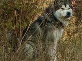 Собаки, щенята Аляска маламут, ціна 2000 Грн., Фото