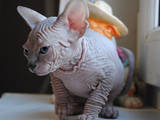 Кошки, котята Канадский сфинкс, цена 20000 Грн., Фото