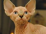 Кошки, котята Канадский сфинкс, цена 15000 Грн., Фото