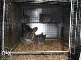 Грызуны Шиншиллы, цена 32000 Грн., Фото