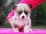 Собаки, щенки Вельш корги пемброк, цена 15000 Грн., Фото