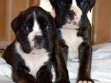 Собаки, щенята Боксер, ціна 9000 Грн., Фото