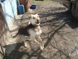 Собаки, щенята Східно-Європейська вівчарка, ціна 10 Грн., Фото