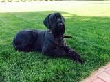 Собаки, щенки Ризеншнауцер, цена 14000 Грн., Фото