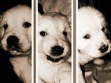 Собаки, щенята Золотистий ретрівер, ціна 2000 Грн., Фото