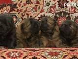 Собаки, щенята Чау-чау, ціна 18000 Грн., Фото