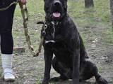 Собаки, щенята Канарський дог, ціна 1000 Грн., Фото