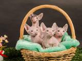 Кішки, кошенята Донський сфінкс, ціна 2000 Грн., Фото