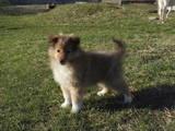 Собаки, щенята Шелті, ціна 3000 Грн., Фото