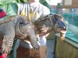 Тварини Екзотичні тварини, ціна 23000 Грн., Фото