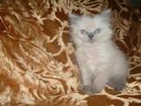Кішки, кошенята Гімалайська, ціна 400 Грн., Фото