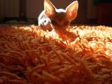 Кошки, котята Донской сфинкс, цена 3000 Грн., Фото